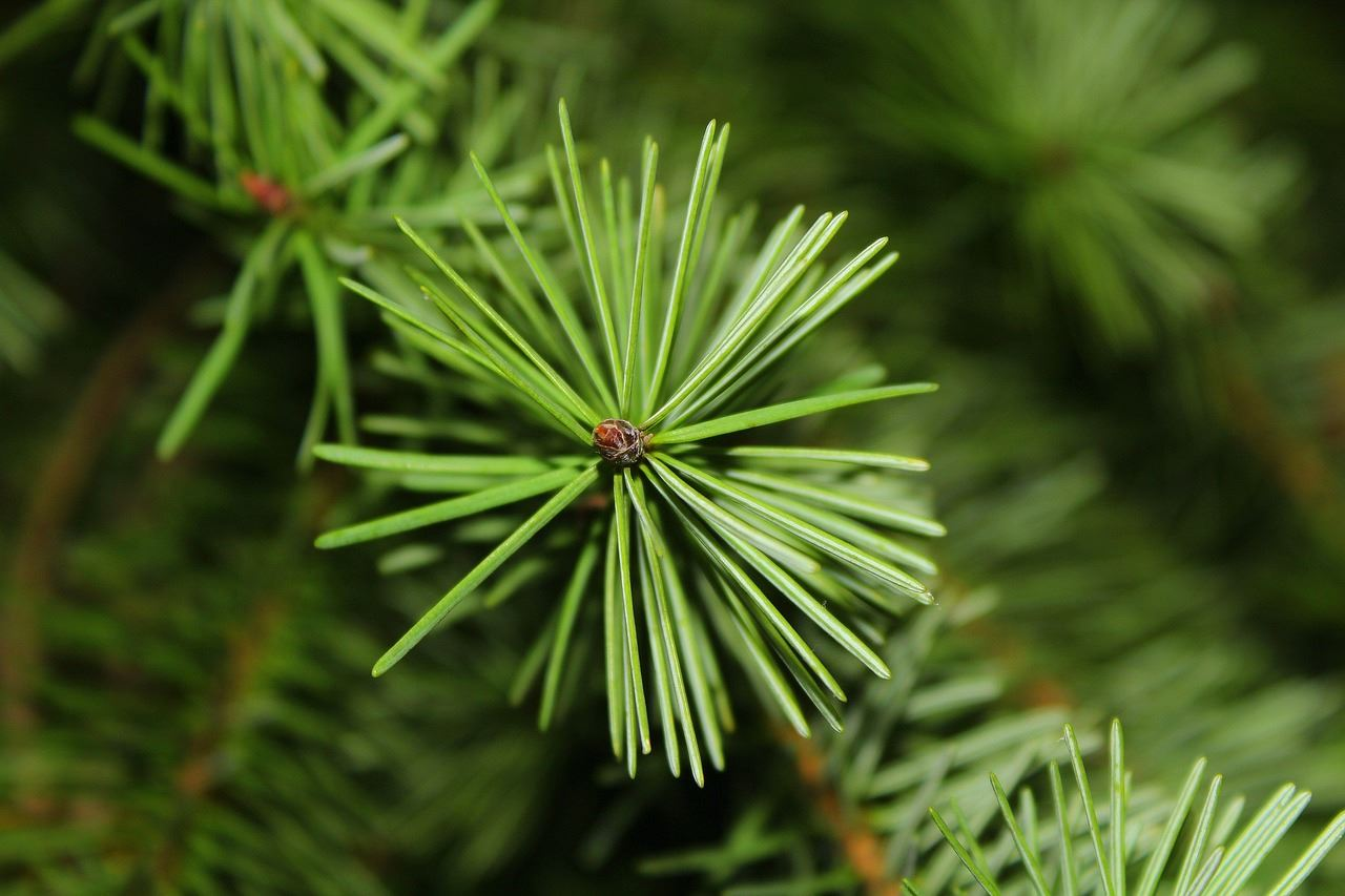 close up photo of an evergreen tree